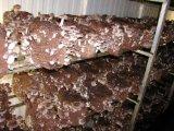 Kitchen & Housewares : Shiitake Mushroom Indoor Grow Kit