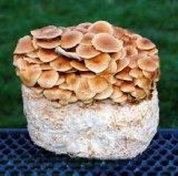Kitchen & Housewares : Nameko Mushroom Kit